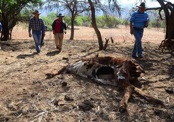 Esqueletos de reses muertas a causa de la sequía en Pasorapa, en el cono sur. - José Rocha Los Tiempos